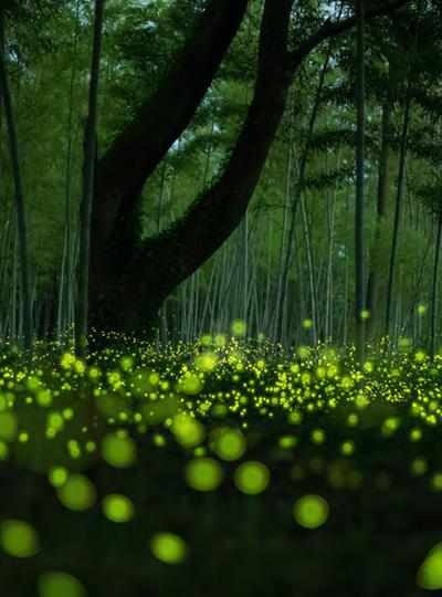 Fireflies Forest Floor Illumination Lighting Memories